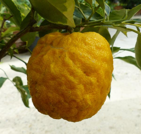 Citrus x aurantium L. 'Turco'