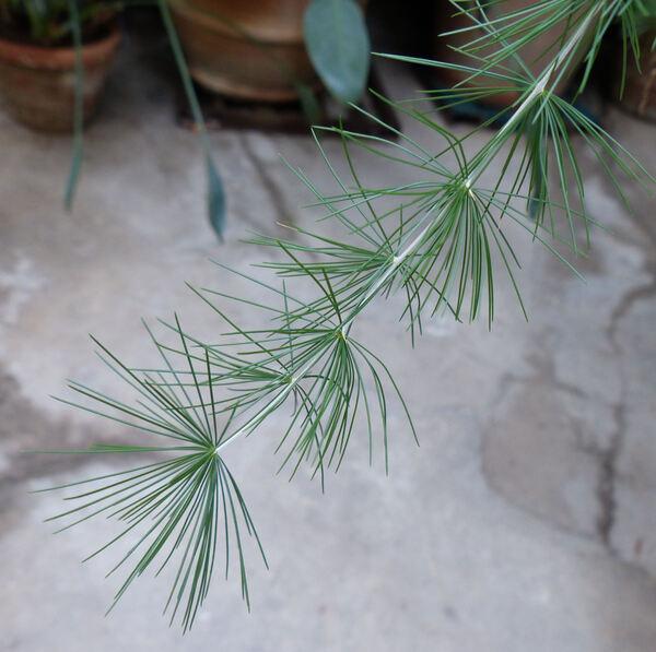 Asparagus retrofractus L.