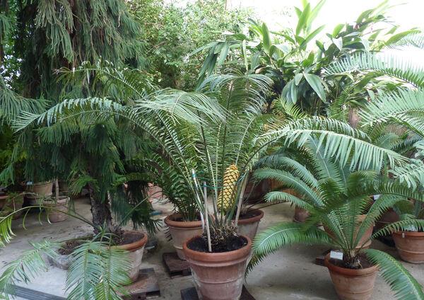 Encephalartos villosus Lem.