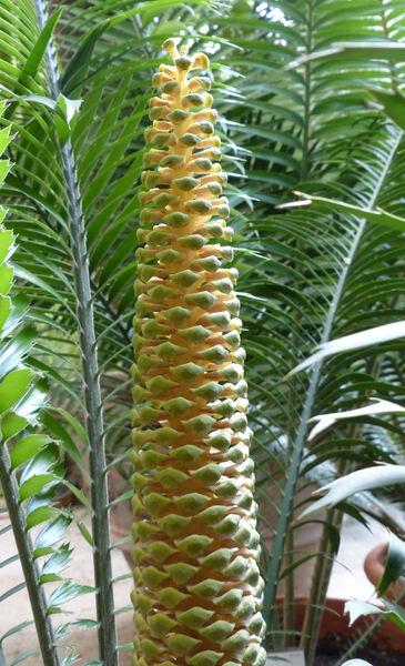 Encephalartos lebomboensis Verd.