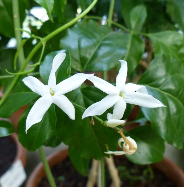 Jasminum azoricum L.