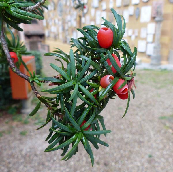 Taxus baccata L. 'Fastigiata'
