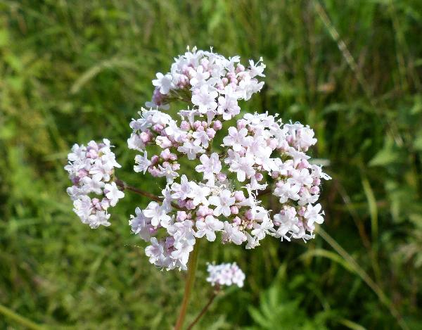 Valeriana officinalis L. subsp. officinalis