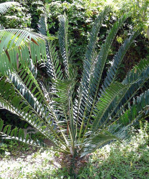 Encephalartos arenarius R. A. Dyer