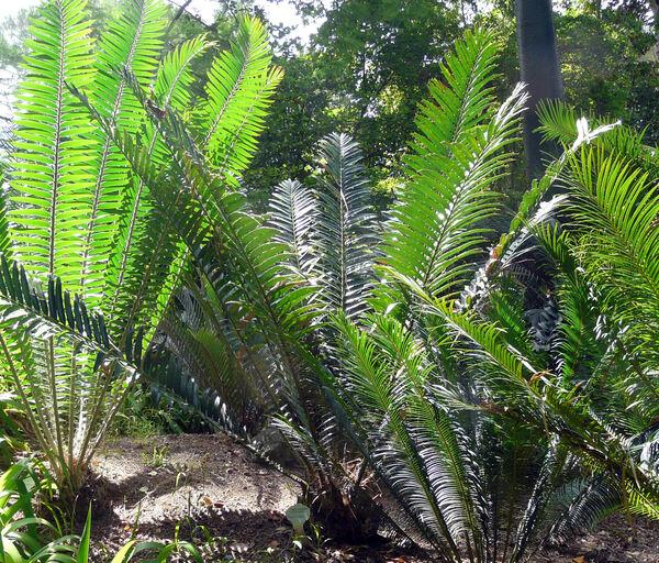 Encephalartos hildebrandtii A. Br. & Bouché