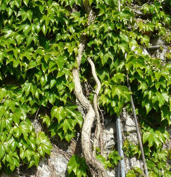 Parthenocissus tricuspidata (Siebold & Zucc.) Planch. 'Veitchii'