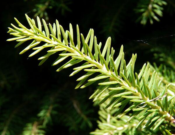 Picea abies (L.) H. Karst. 'Nidiformis'