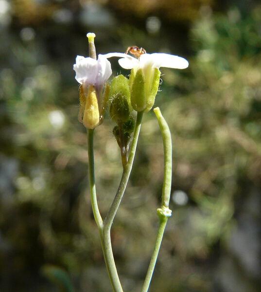 Arabidopsis petraea (L.) V.I.Dorof.