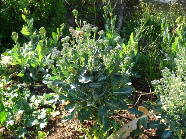 Brassica rapa L. subsp. sylvestris (L.) Janch. var. esculenta Hort.