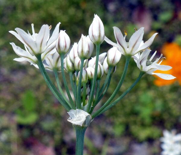 Allium ramosum L.