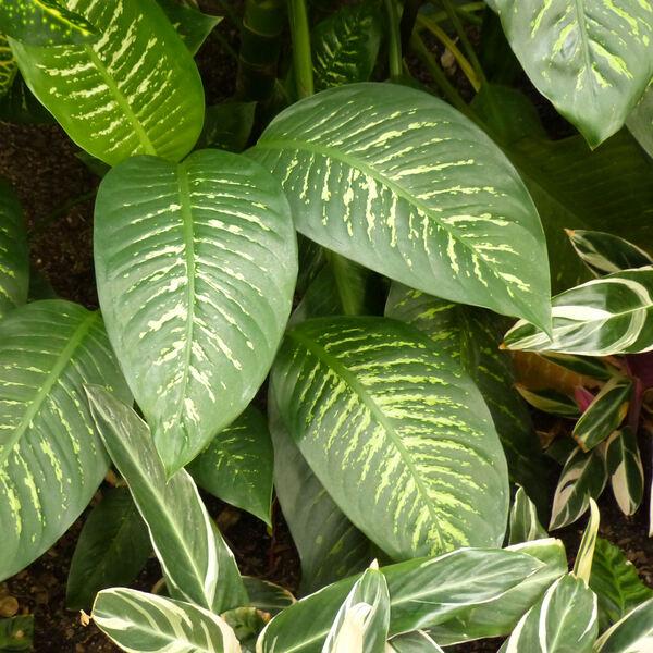 Dieffenbachia seguine (Jacq.) Schott