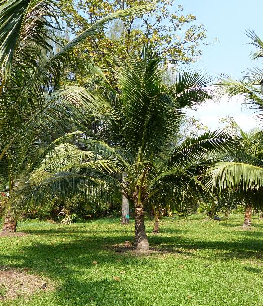 Cocos nucifera L. 'Krati nam konn'