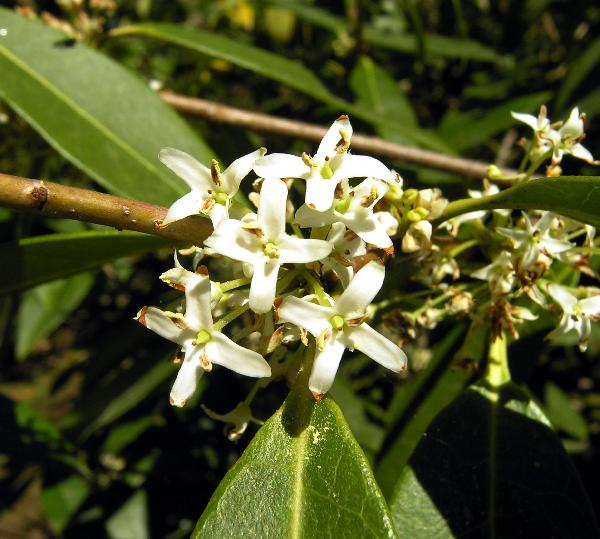 Osmanthus decorus (Boiss. & Balansa) Kasapligil