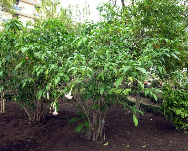 Brugmansia versicolor Lagerh.