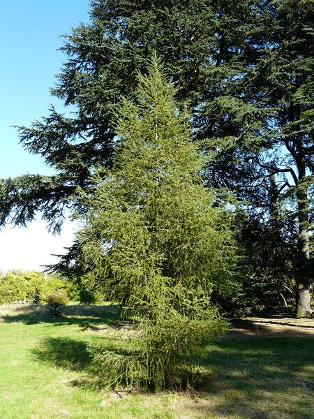 Larix ×marschlinsii Coaz