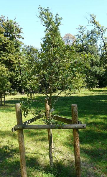Quercus rugosa Née