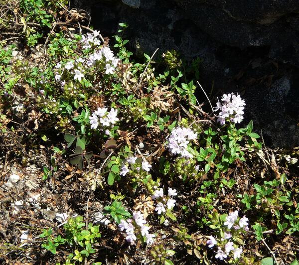 Thymus herba-barona Loisel.