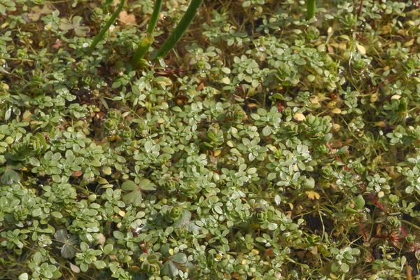 Callitriche brutia Petagna
