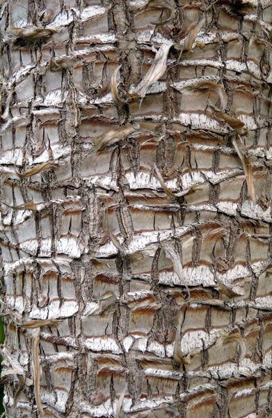 Yucca filamentosa L. 'Variegata'