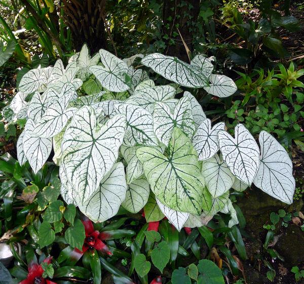 Caladium bicolor (Aiton) Vent. 'White Queen'