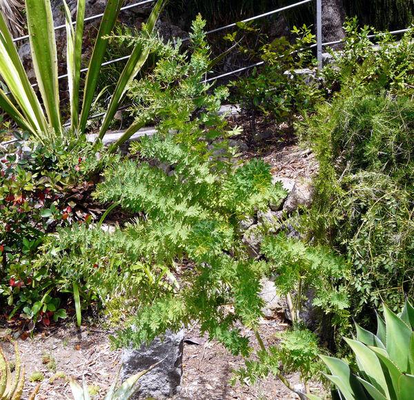 Acacia spectabilis A.Cunn. ex Benth.