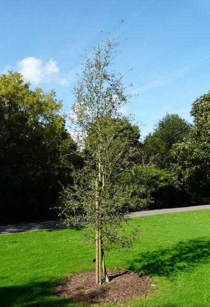 Quercus grisea Liebm.