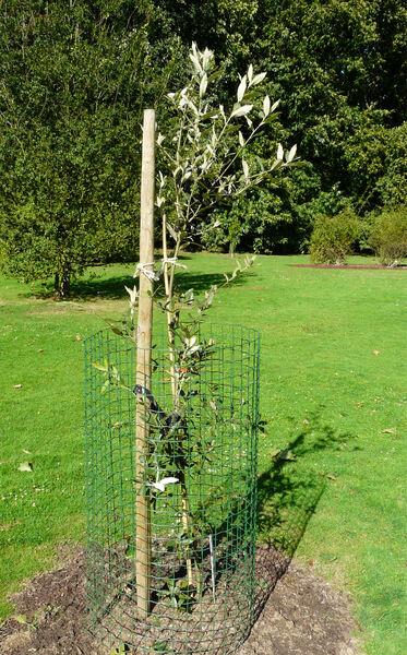 Quercus hypoleucoides A.Camus