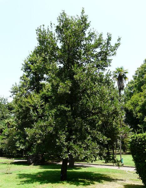 Quercus ithaburensis Decne. subsp. macrolepis (Kotschy) Hedge & Yalt.