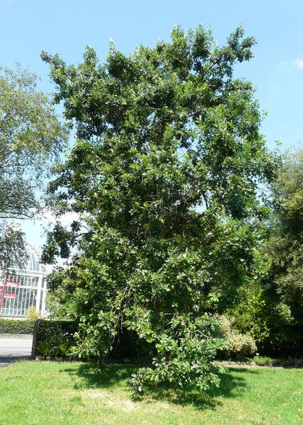 Quercus macrocarpa Michx.