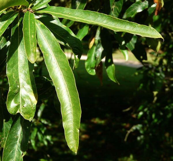 Quercus phellos L.