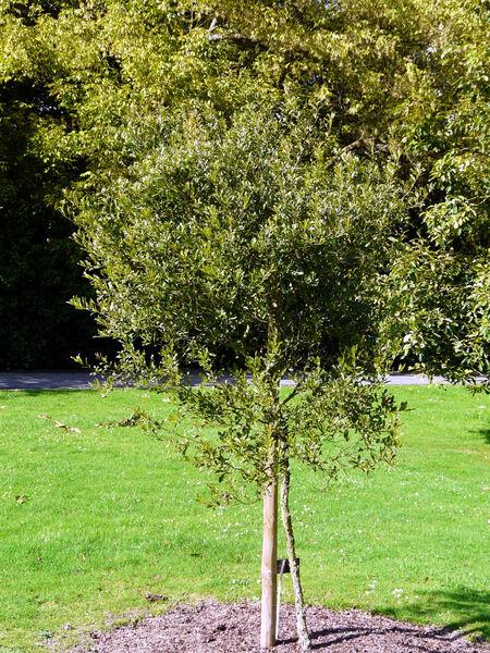 Quercus vaseyana Buckl.