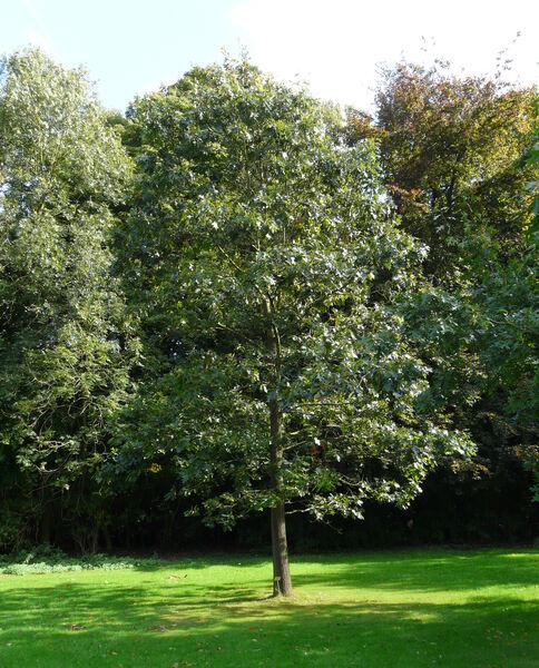 Quercus velutina Lam.