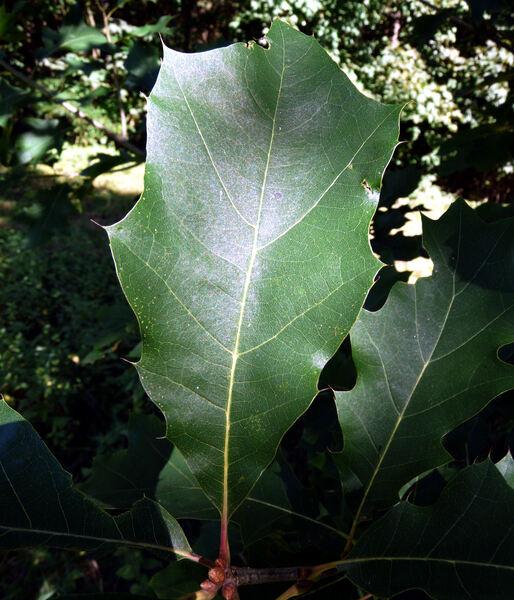 Quercus x exacta Trel.