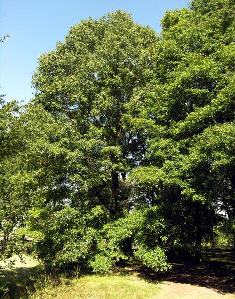Quercus x heterophylla Michx.