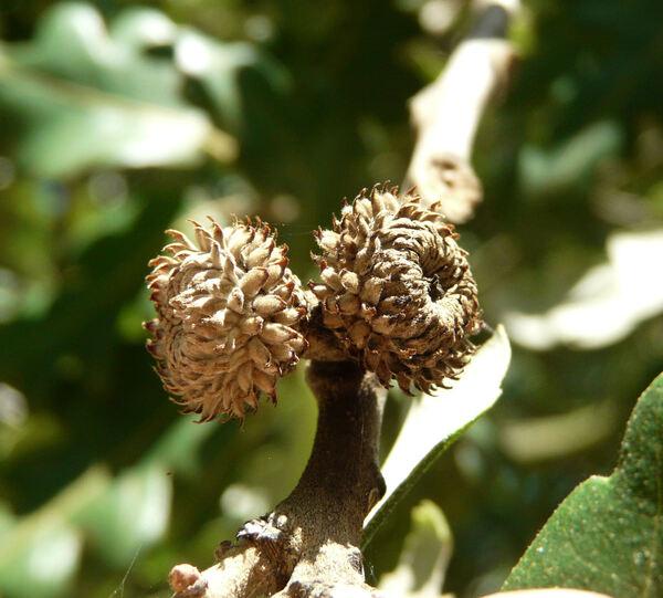 Quercus x hispanica Lam. 'lucombeana'