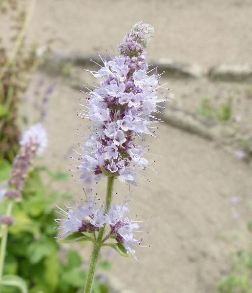 Mentha longifolia (L.) Huds. var. asiatica (Boriss.) Rech. f.