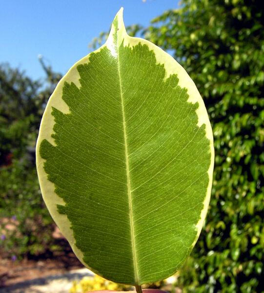 Ficus benjamina L. 'Variegata'