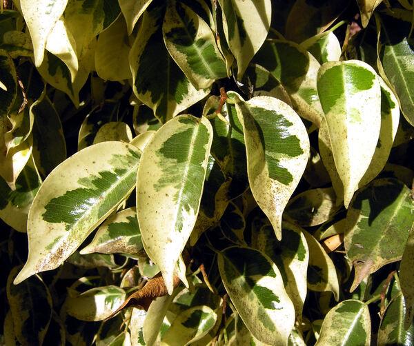 Ficus benjamina L. 'Starlight'