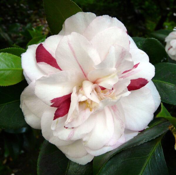 Camellia japonica L. 'Angela Cocchi'