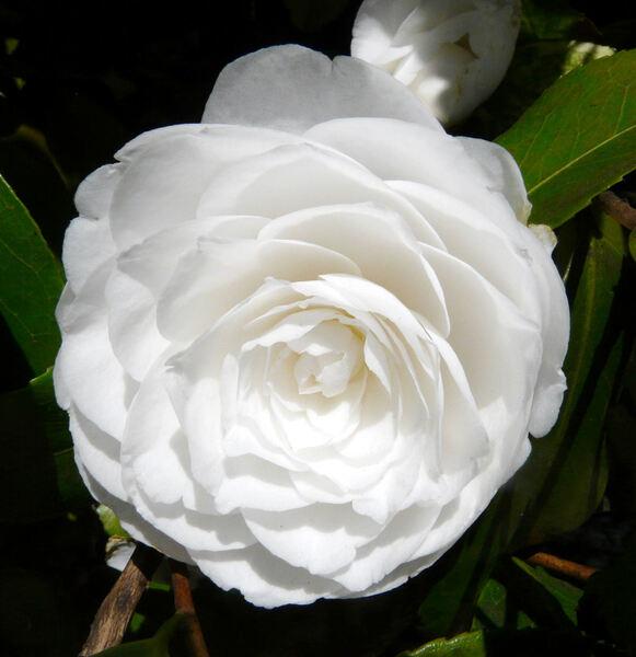 Camellia japonica L. 'Alba Plena'