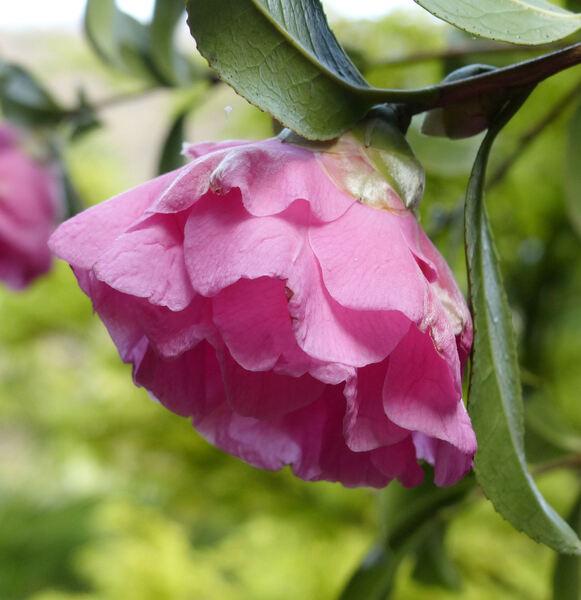Camellia japonica L. 'Wynne Rayner'