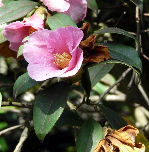 Camellia saluenensis Stapf ex Bean
