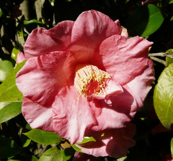 Camellia japonica L. 'Laurie Bray'