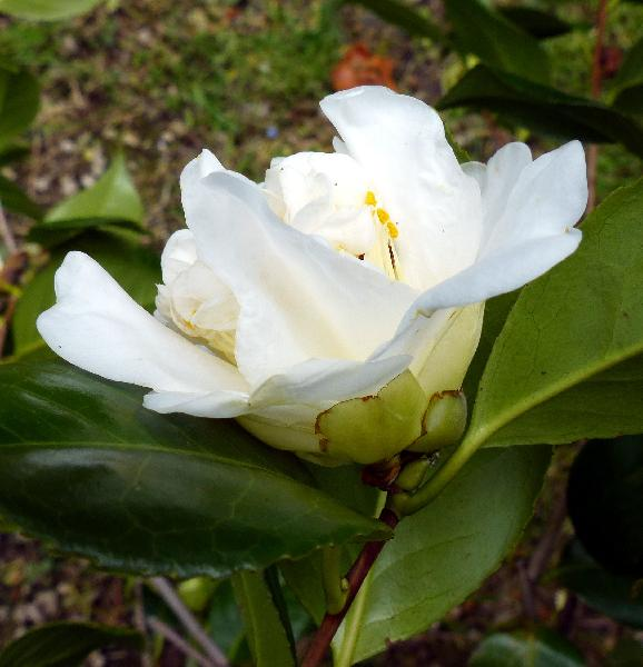 Camellia japonica L. 'Snow Ball'