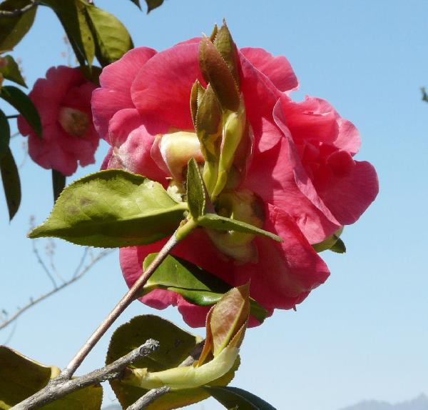 Camellia reticulata Lindl. 'Otto Hopfer'