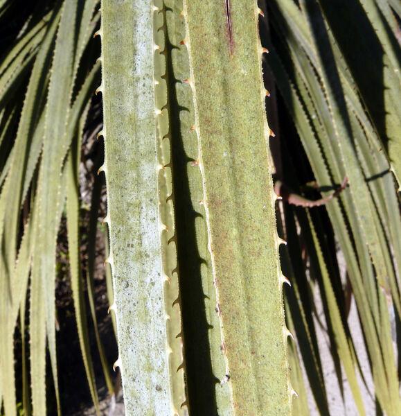 Dasylirion glaucophyllum Hook.