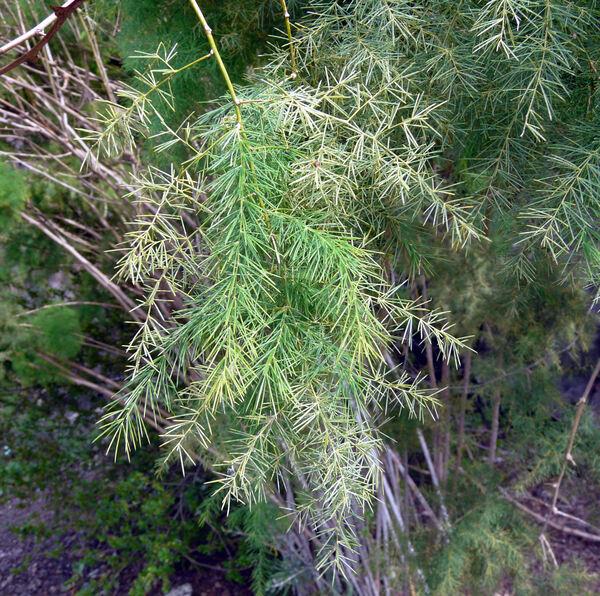 Asparagus scoparius Lowe