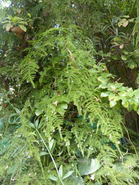 Asparagus plumosus Baker