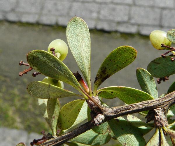 Berberis brevifolia Phil.