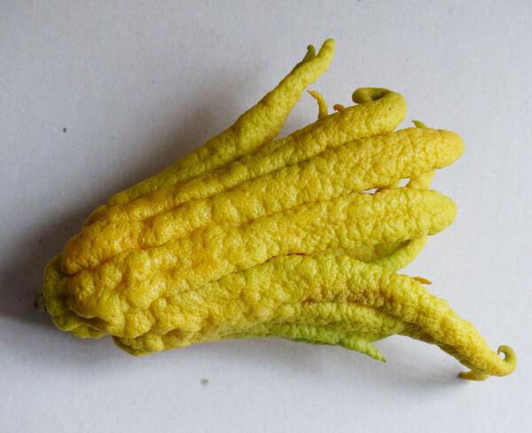 Citrus medica L. 'Sarcodactylus'